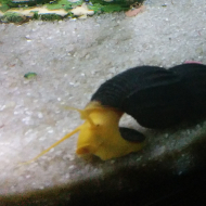 snail in a fish tank