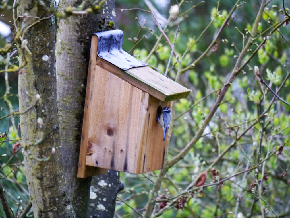 blue tit at bird box