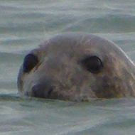 seal swimming in the sea