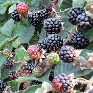 blackberries on a hedge