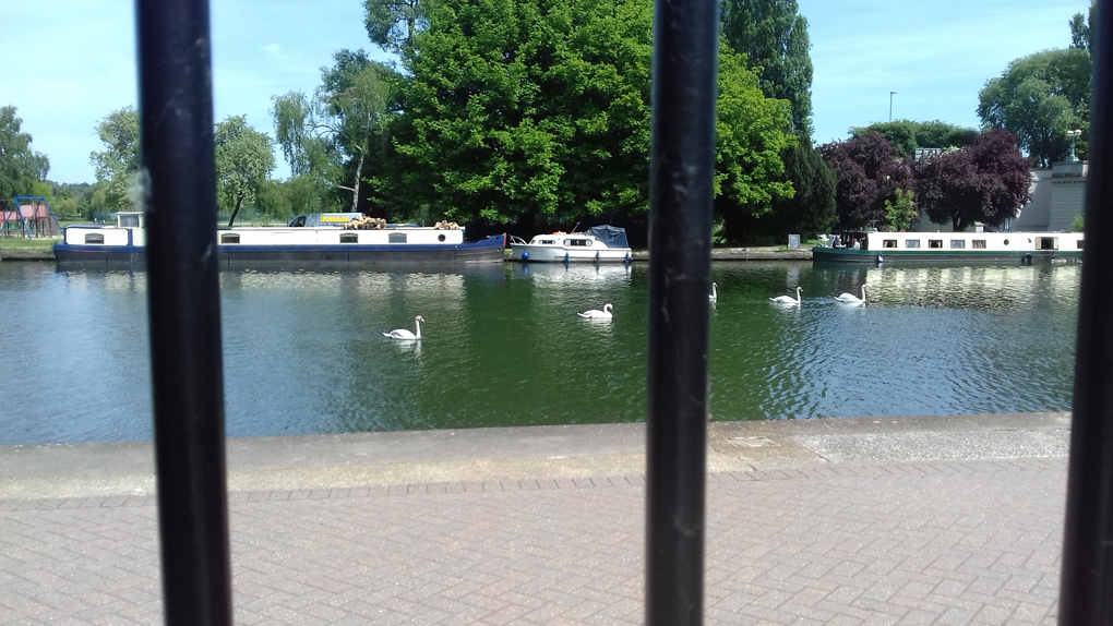 swans on a river, picture taken through bars