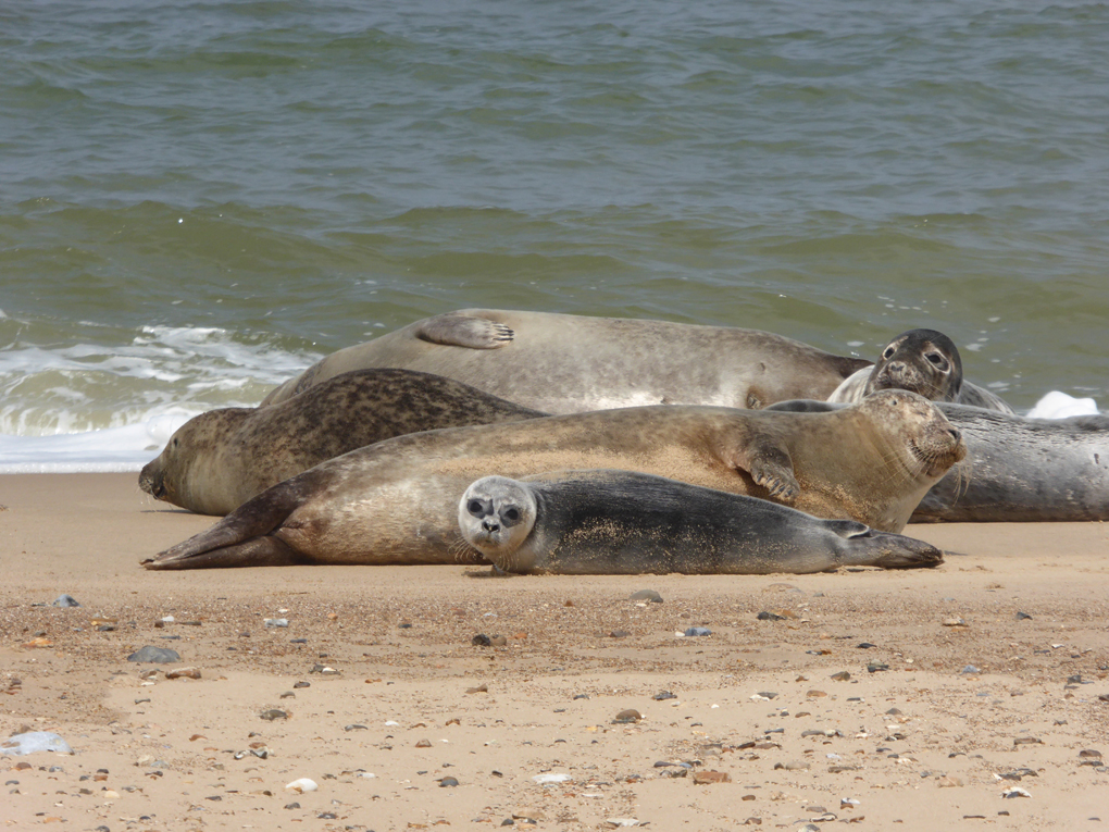 Norfolk seal colony sunbathing on the beach