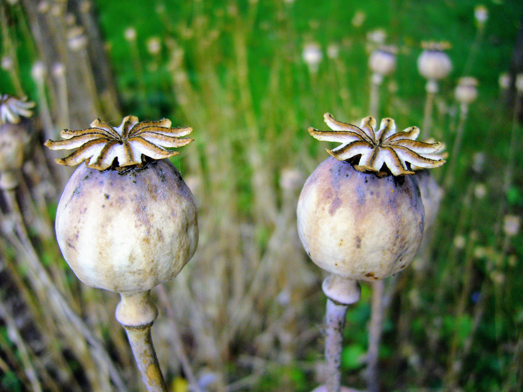 Two poppy seed heads