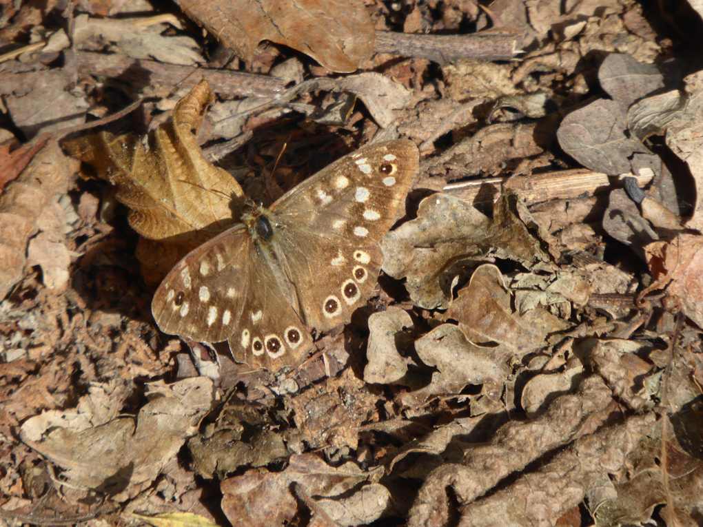 Speckled Wood? Butterfly camouflaged amongst fallen woodland leaves
