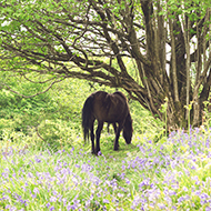 horse near bluebells in a wood