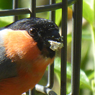 brightly coloured bullfinch