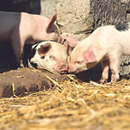 Cute piglets revelling in the sun on a Peak District farm near Tissington.