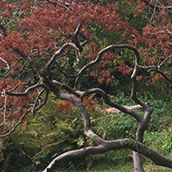 A small maple tree growing sideways in the Bath botanic gardens