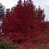 This picture shows a bright red leaved tree that stand out against a backdrop of blue skies and green trees