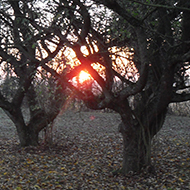 Bare apple trees stand in their own fallen leaves with a misty sunrise behind them