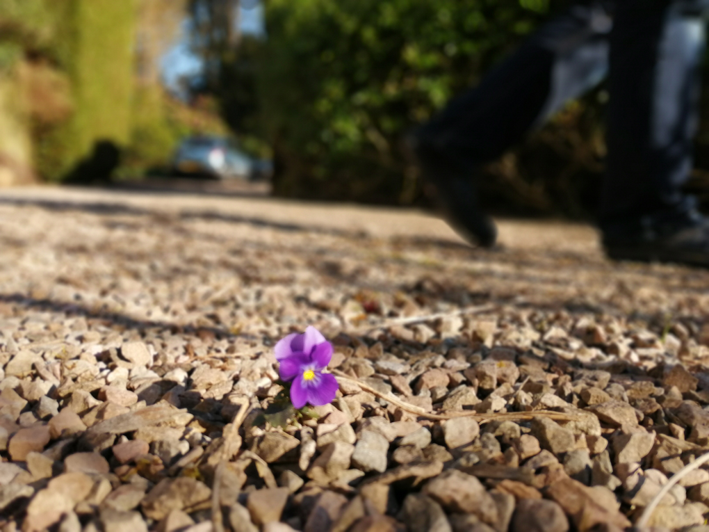 A tiny delicate purple pansy growing through the gravel with blurred greenery in the background and my father's slippered feet.