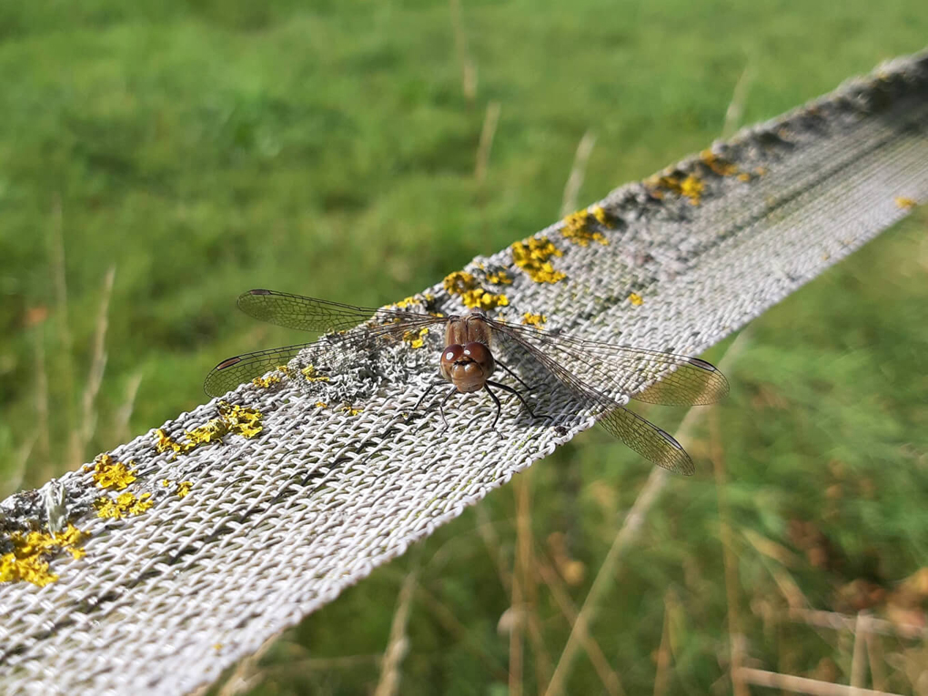Dragonfly with brown body and red-brown eyes, resting on a white ribbon electric fence