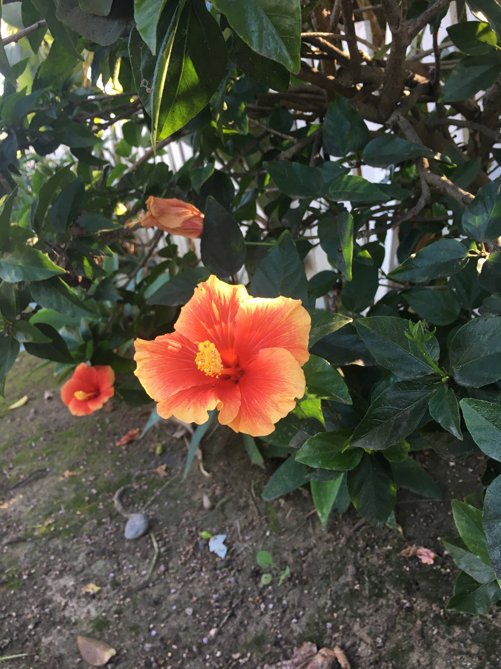 A bright pink and orange hibiscus flower with deep green leaves growing by the street in the middle of winter in California
