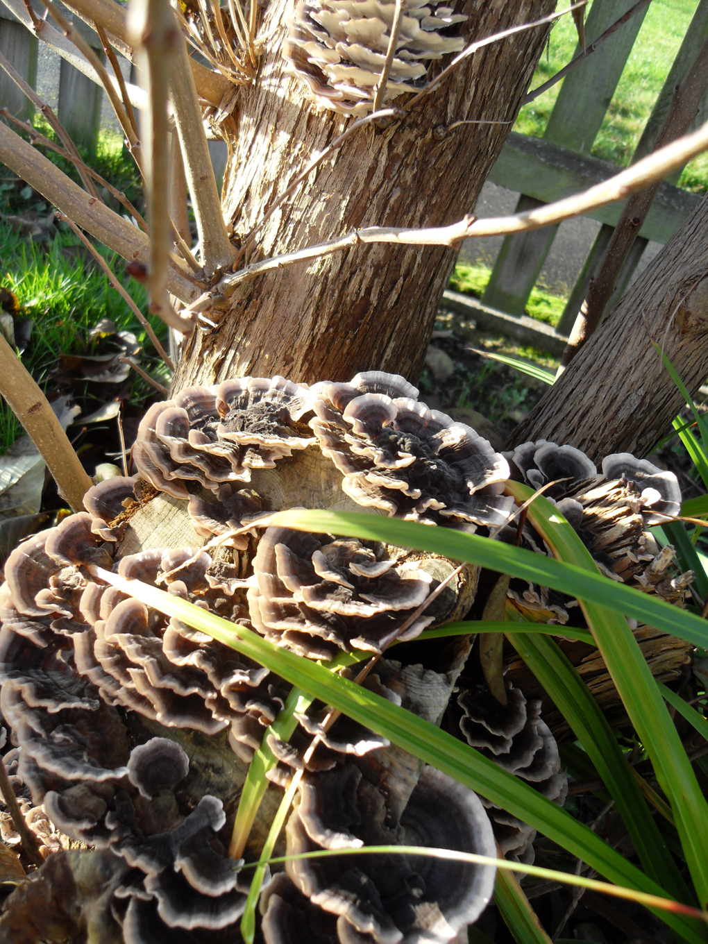 Group of frilly brown and beige fungi growing on stems of a bush.