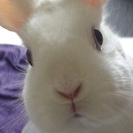A white rabbit peering at the camera