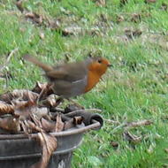 Robin sitting on weeding container