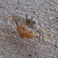 Crab on a beach carrying orange peel next to footprint in sand