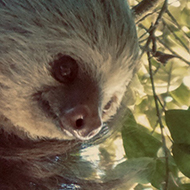Costa Rican Two-Toed Sloth
