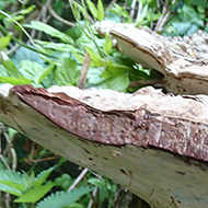 A great find - two giant Polypore fungi growing on an old tree stump in a Bristol Sensory Garden near St. Mary Redcliffe church. They measured 37 cms long x 20 cms deep. Humongous!!!