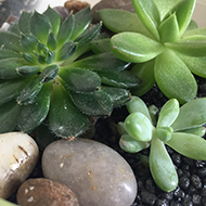Close-up on some succulent plants in a pot with rocks