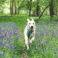 Leo is a golden retriever puppy running gleefully through a path shrouded with bluebells.