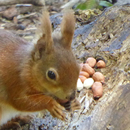 Red squirrel, with nuts, in woodland