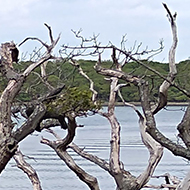 This picture shows a few dead trees along the shore in Chichester harbour