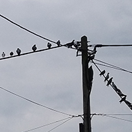 40 pigeons in a row on the overhead wire