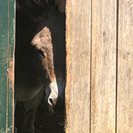 A donkey peering out from inside a shed