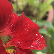 Droplets of water on bright red flower petals sparkling in the sun