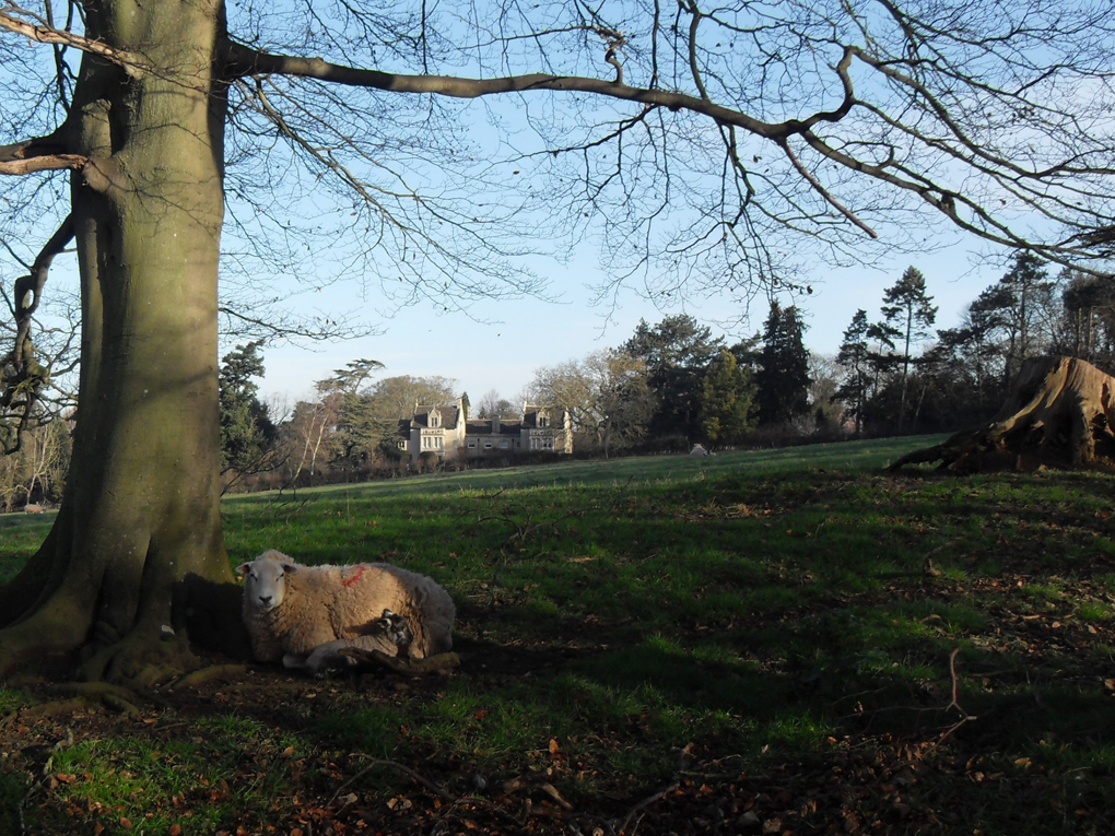 Parkland with sheep,lambs and Tolethorpe Hall in the background