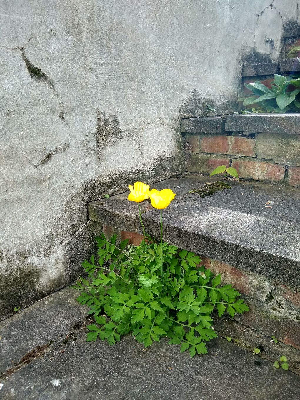 Two yellow poppies growing through concrete steps