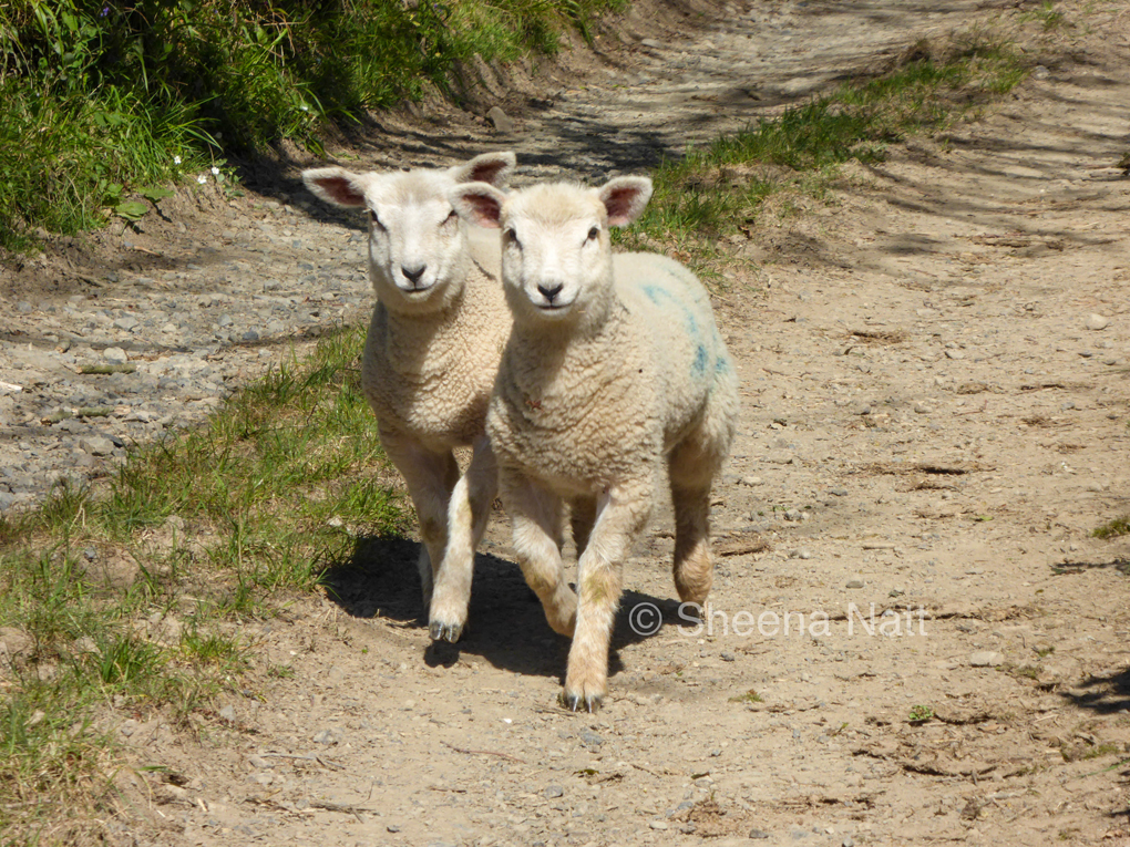 Two lambs in a country lane