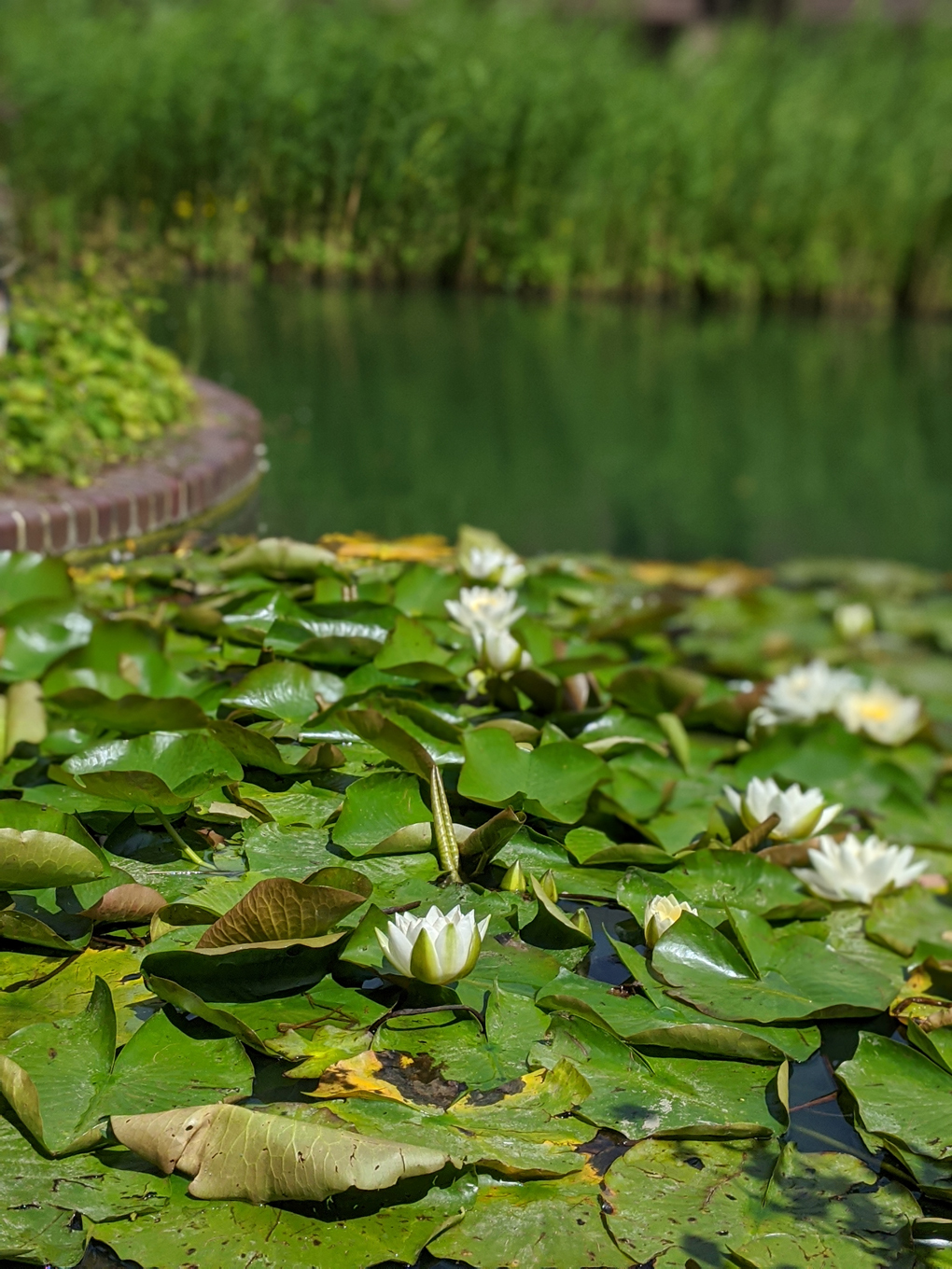 Water lilies gathered on water