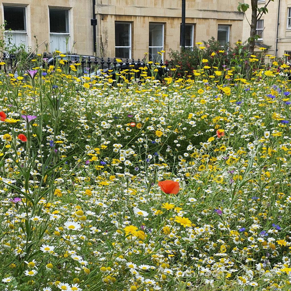 Close-up on a fenced-in wildflower meadow, with terraced buildings in the background