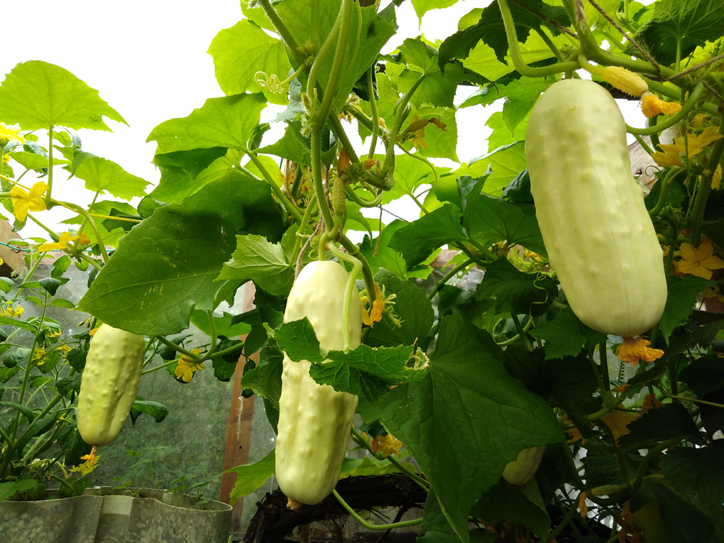 Three big white cucumbers are hanging from a massive vine in the greenhouse