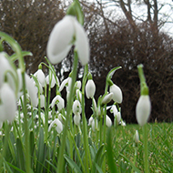 Snowdrops growing in a garden