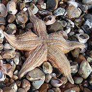 Two Starsish amongst the pebbles, seashells  arnd seaweed on Pagham Beach