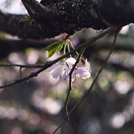 Cherry Blossom resting in the spring light.