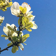 Magnolia branches stretching into a blue sky with bright white petals