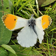 butterfly with orange tips on the end of the wings