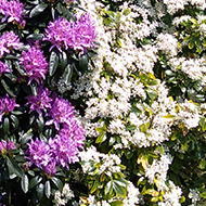 There are flowering yellow Treepeanonies, purple Rhododendrons and a white Choysia Bush with a bright blue sky above in this picture