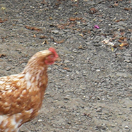 A chicken walking in front of an egg vending machine.