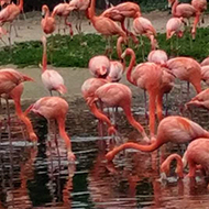 A flock of pink flamingos