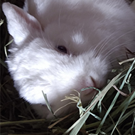 A white rabbit lounges on her side amongst her hay