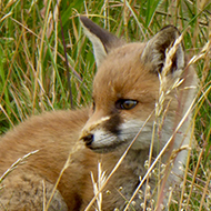 Fox cub on local golf course