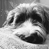 A black and white image of a fluffy cockapoo dog lying on top of a sofa with paws slumped down towards the pillows.