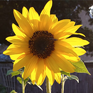 close-up image of sunflowers