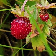 A fruiting wild strawberry plant growing in a stone wall