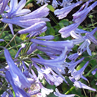 A clump of blue agapanthus in full bloom